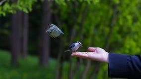 Ansicht von woman s Hand, die Korn hält und Vögel einzieht stockfoto