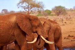 Ansicht von zwei Elefanten und von unscharfen Zebras im Hintergrund Nationalpark Tsavo in Kenia, Afrika Blauer Himmel und roter S stockfotografie
