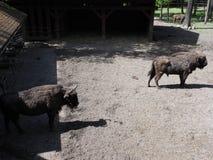 Ansicht von zwei starken europäischen Bisonen stehen auf sandigem Boden in der Einschließung an der Stadt von Pszczyna in Polen stockbild