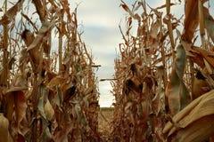 Ansicht zwischen zwei Reihen von trockenen Maispflanzen Lizenzfreies Stockbild