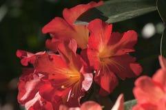 Ansichten von botanischen Gärten im Frühjahr, rote Rhododendronblumenbinder stockbilder
