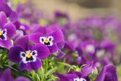 Ansies im Blumenbeet Lizenzfreie Stockfotos
