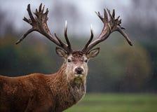 Ansikts- stående av fullvuxna hankronhjorten för röda hjortar i regn Arkivbild