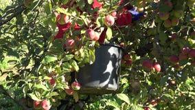 Ansiktslösa trädgårds- arbetare väljer skördäpplen i fruktträdgårdfruktkoloni lager videofilmer