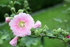 Ansima il fiore dell'albero fotografia stock