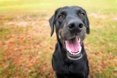 Ansimare nero del cane della miscela del laboratorio Immagine Stock Libera da Diritti