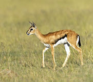 Anslags- Gazelle Royaltyfria Bilder