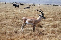 Anslags- gazzelle Fotografering för Bildbyråer