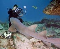 Anspruchsvoller Zitrone-Haifisch gegen Fotografen lizenzfreie stockfotos