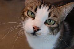 Anstarren der Katze Stockfotografie
