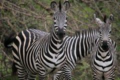 Anstarren der Muttergesellschafts und des Kindes von Zebra Lizenzfreies Stockfoto