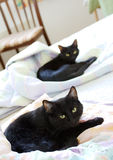 Anstarren der schwarzen Katzen Lizenzfreie Stockfotos