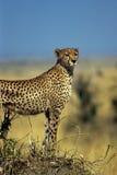 Anstarren des Geparden lizenzfreies stockfoto
