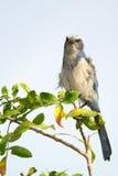 Anstarren Florida-Scheuern-Jay Lizenzfreies Stockfoto