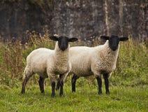 Anstarren mit zwei Schafen Lizenzfreies Stockfoto