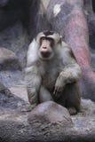 Anstarren südlicher Schwein-angebundener Macaque Stockfoto
