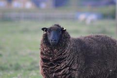Anstarren von Schafen Stockfotografie