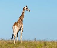 Anstarrende Giraffe Lizenzfreies Stockfoto