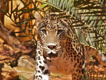 Anstarrender Jaguar - Teil 1 Lizenzfreies Stockbild