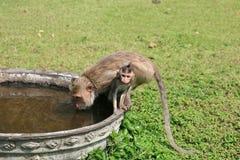 Anstarrendes Macaqueschätzchen während Muttertrinkwasser Stockbilder