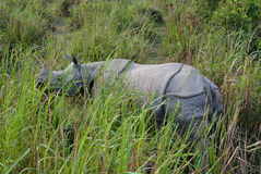 Anstarrendes Nashorn, Nationalpark Kaziranga Stockfoto