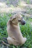 Anstarrenhund auf dem Gras Lizenzfreie Stockfotos