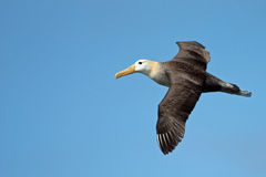 Ansteigende Galapagos wellenartig bewogen Albatros Stockbilder