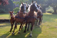 Ansträngde hästar Royaltyfri Foto