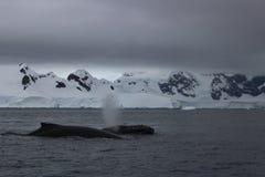 A Antártica - baleias Imagens de Stock