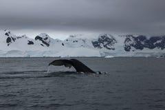 A Antártica - baleias Foto de Stock