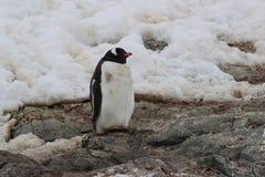 A Antártica - pinguins Imagem de Stock Royalty Free