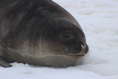 A Antártica - selos Fotos de Stock