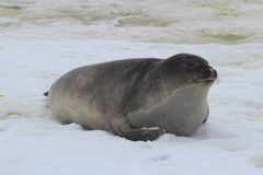 A Antártica - selos Fotos de Stock Royalty Free