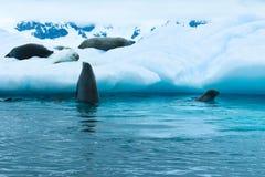 A Antártica, uma verificação curiosa do selo do comedor do caranguejo em seus amigos que dormem em um iceberg foto de stock royalty free
