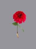 Antänd röd blomning Arkivfoton