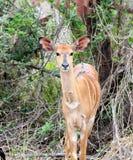 Antílope africano en el arbusto africano Fotos de archivo