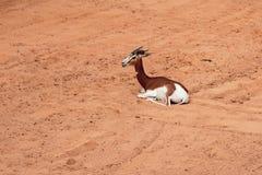 Antílope africano, mhorr da gazela Biopark, Valência, Espanha imagem de stock