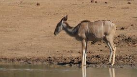 Antílope alerta del kudu almacen de video