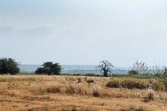 Antílope angolano Imagen de archivo libre de regalías