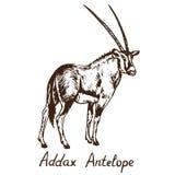 Antílope branco do antílope do Addax ou a posição do antílope do screwhorn ilustração stock