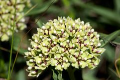 Antílope-chifres, Milkweed da aranha, Milkweed com flores verdes, asperula do Asclepias dos Antílope-chifres da aranha fotografia de stock