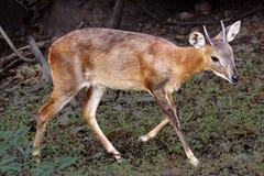 Antílope, ciervo en la fauna Fotos de archivo