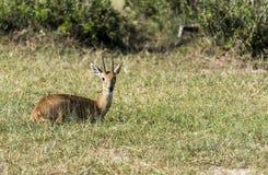 Antílope da impala no parque nacional Safari Reserve em Uganda - a pérola de Murchison Falls de África fotografia de stock royalty free