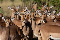 Antílope da impala que está junto imagem de stock royalty free
