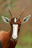 Antílope de Bontebok Foto de archivo libre de regalías