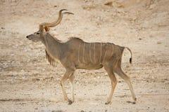 Antílope de Kudu   Foto de Stock