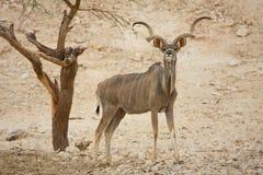 Antílope de Kudu fotografia de stock
