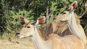 Antílope de Kudu - animais selvagens africanos - olhar fixo da vaca Fotografia de Stock Royalty Free