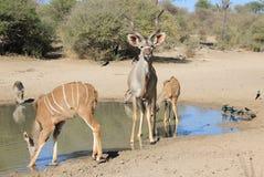 Antílope de Kudu - animais selvagens africanos - retrato da família da inocência e do redemoinho do chifre Imagem de Stock Royalty Free