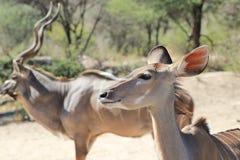 Antílope de Kudu - animais selvagens de África - diferença do sexo Imagem de Stock
